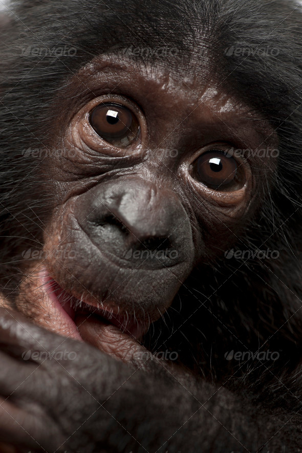 Baby bonobo, Pan paniscus, 4 months old, close up portrait - Stock Photo - Images