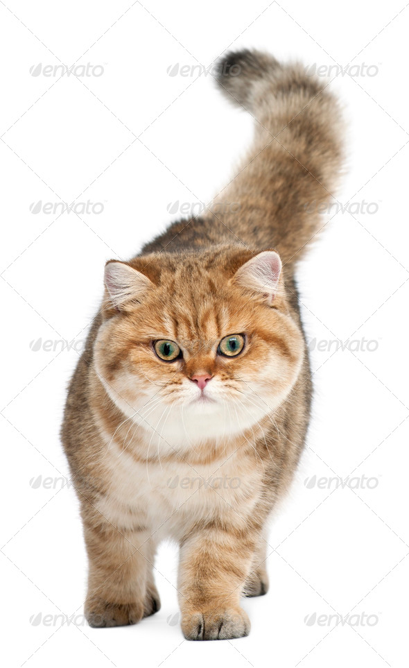 Golden shaded British shorthair, 7 months old, walking against white background - Stock Photo - Images