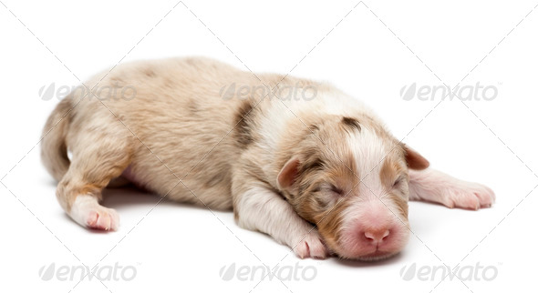 Australian Shepherd puppy, 7 days old, lying against white background - Stock Photo - Images
