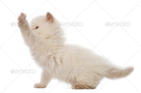 British Longhair Kitten playing, 5 weeks old, against white background - Stock Photo - Images