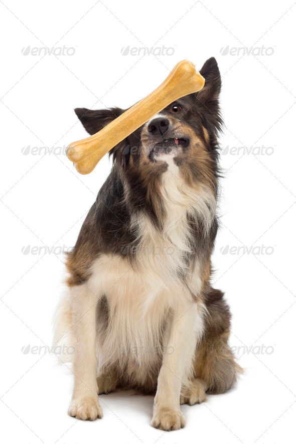 Border Collie looking at bone in front its face against white background - Stock Photo - Images