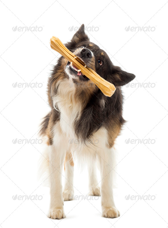 Border Collie standing and chewing bone against white background - Stock Photo - Images