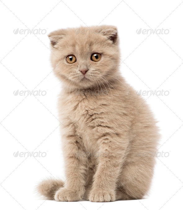 Portrait of Scottish Fold Kitten sitting, 9 weeks old, against white background - Stock Photo - Images