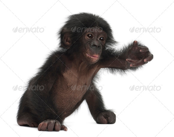 Baby bonobo, Pan paniscus, 4 months old, sitting against white background - Stock Photo - Images