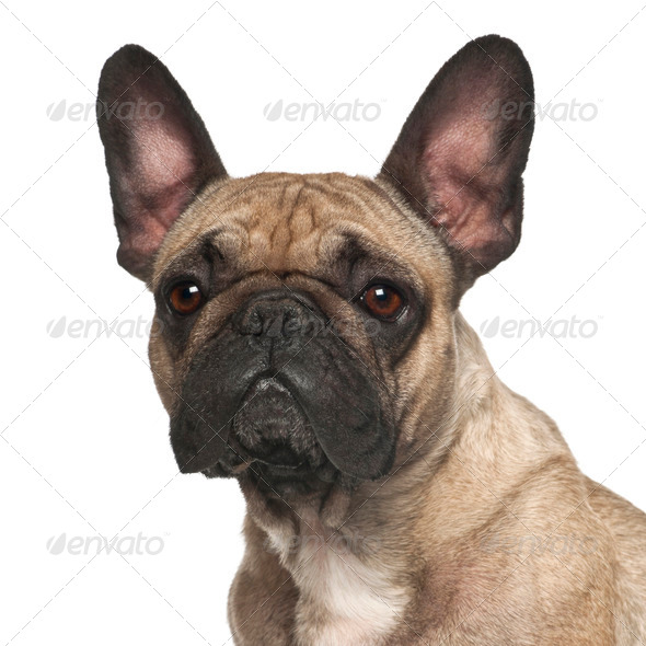 French Bulldog against white background - Stock Photo - Images
