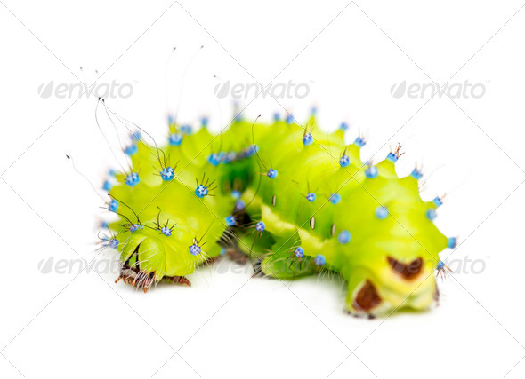 Caterpillar of the Giant Peacock Moth, Saturnia pyri, against white background - Stock Photo - Images
