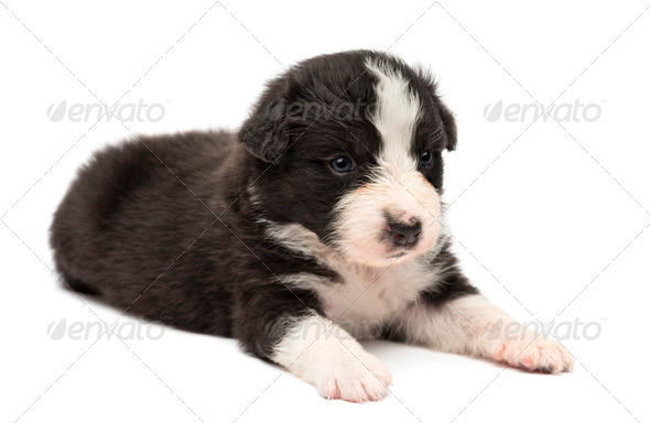 Australian Shepherd puppy, 24 days old, lying against white background - Stock Photo - Images