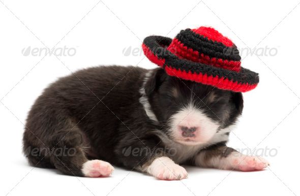 Australian Shepherd puppy, 12 days old, wearing a hat against white background - Stock Photo - Images