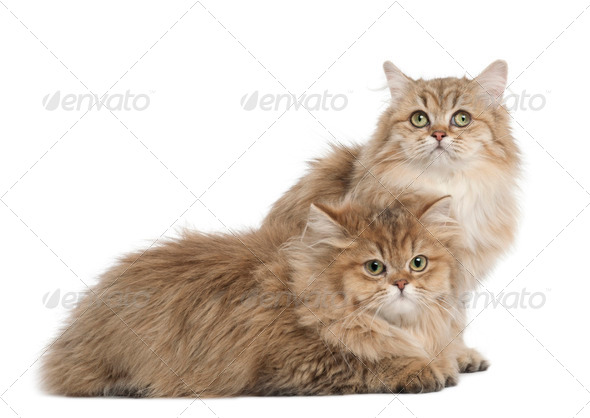 British Longhair cat, 4 months old, lying against white background - Stock Photo - Images