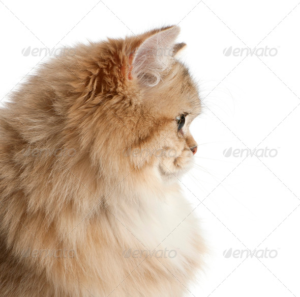 British Longhair cat, 4 months old, against white background - Stock Photo - Images