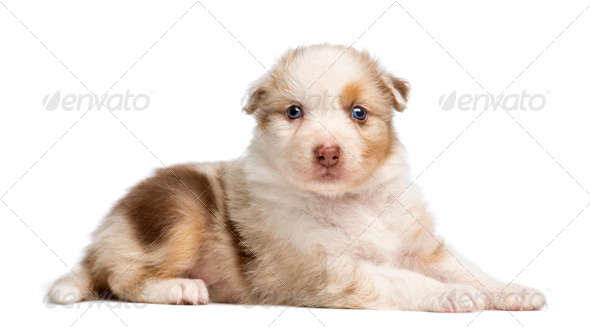 Australian Shepherd puppy, 30 days old, lying and portrait against white background - Stock Photo - Images