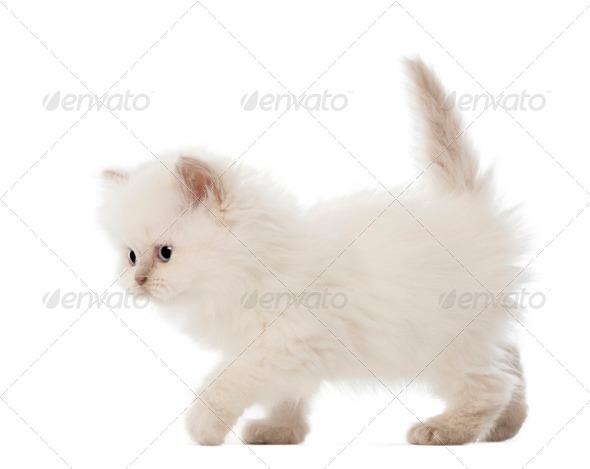 British Longhair Kitten walking, 5 weeks old, against white background - Stock Photo - Images