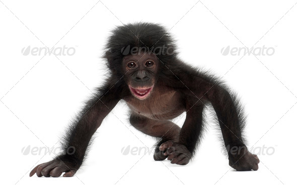 Baby bonobo, Pan paniscus, 4 months old, walking against white background - Stock Photo - Images