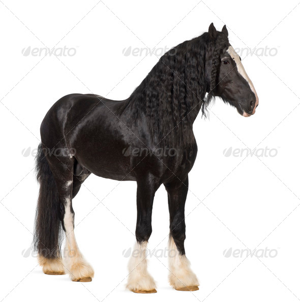 Shire Horse standing against white background - Stock Photo - Images