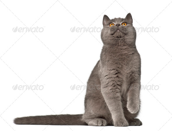 British Shorthair, 7 months old, sitting against white background - Stock Photo - Images