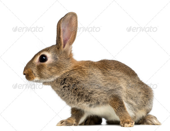 European rabbit or common rabbit, 2 months old, Oryctolagus cuniculus against white background - Stock Photo - Images
