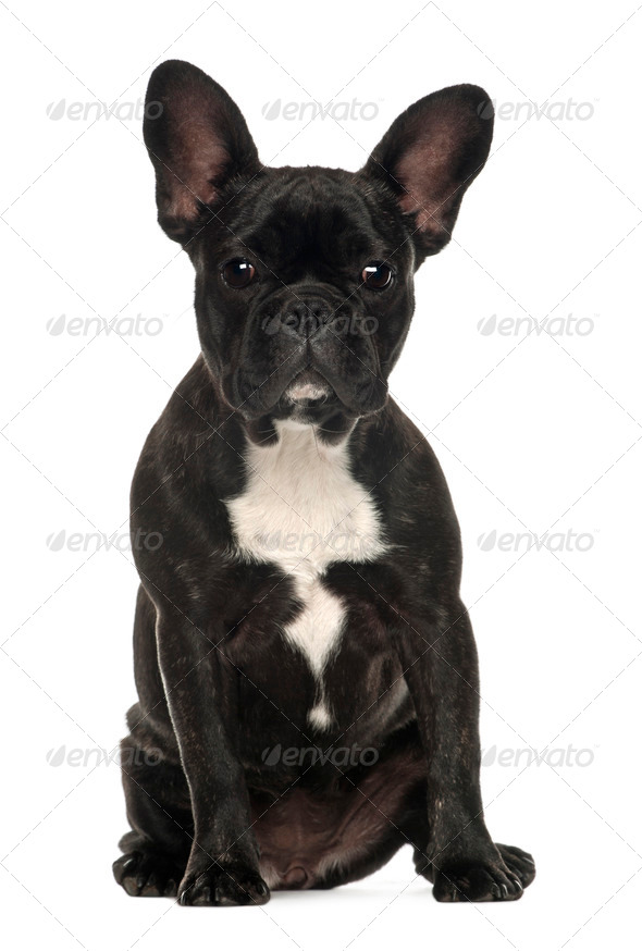 French Bulldog, 6 months old, sitting against white background - Stock Photo - Images