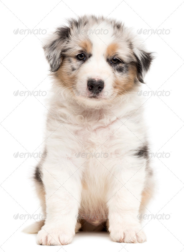 Australian Shepherd puppy sitting and portrait against white background - Stock Photo - Images