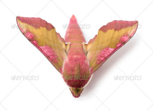 Elephant Hawk, moth, Deilephila elpenor, against white background - Stock Photo - Images