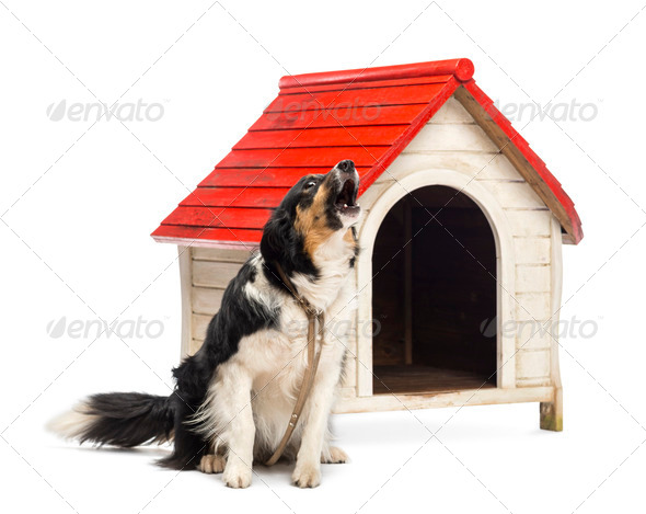 Border Collie tied and barking next to a kennel against white background - Stock Photo - Images