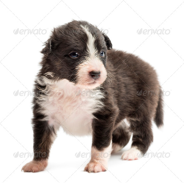 Australian Shepherd puppy, 22 days old, standing and looking away against white background - Stock Photo - Images