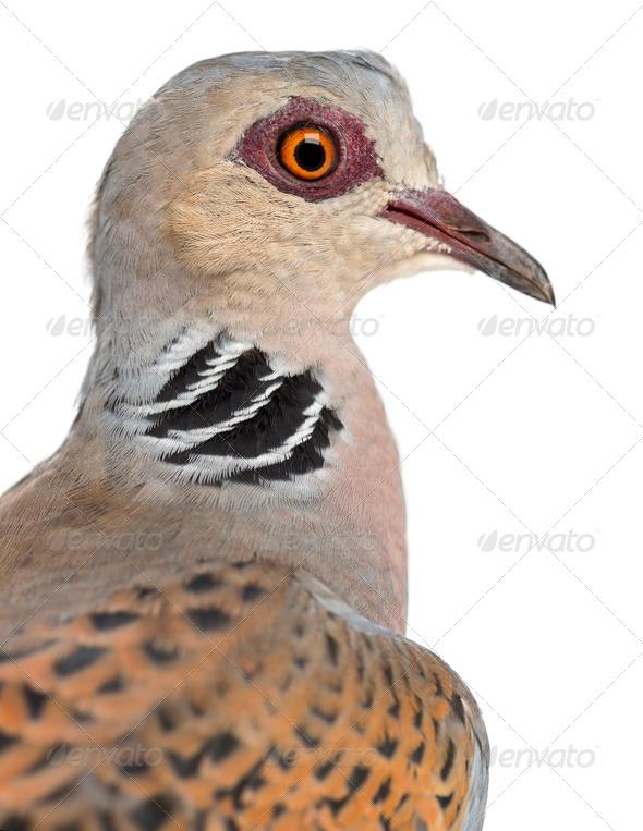 European Turtle Dove, Streptopelia turtur, also known as the Turtle Dove against white background - Stock Photo - Images