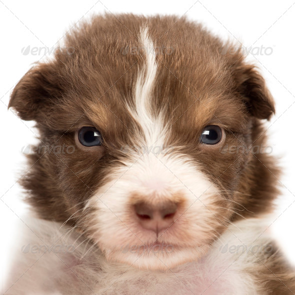 Close-up of an upset Australian Shepherd puppy, 22 days old, portrait against white background - Stock Photo - Images