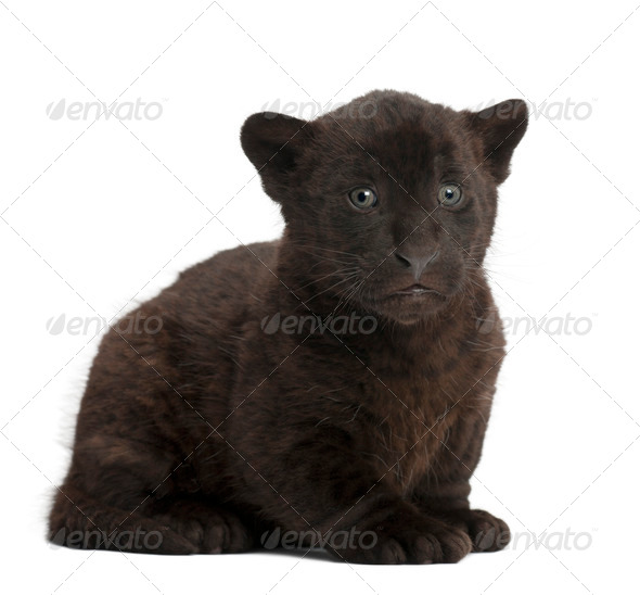 Jaguar cub, 2 months old, Panthera onca, sitting against white background - Stock Photo - Images