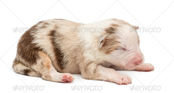 Australian Shepherd puppy, 10 days old, lying against white background - Stock Photo - Images