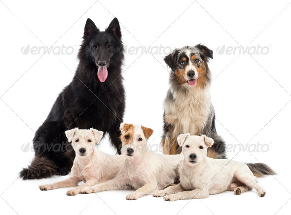 Belgian shepherd-Groenendael, Australian Shepherd and Jack Russell terrier against white background - Stock Photo - Images