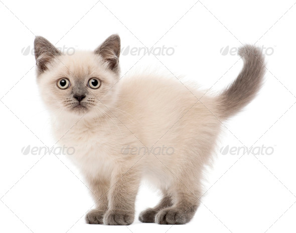 Portrait of British Shorthair Kitten, 10 weeks old, against white background - Stock Photo - Images