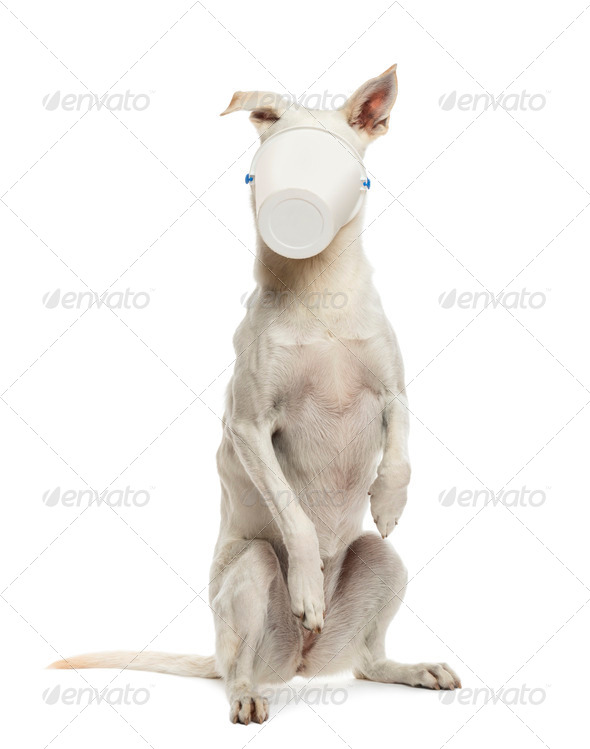 Crossbreed dog standing on hind legs with bucket on its face against white background - Stock Photo - Images