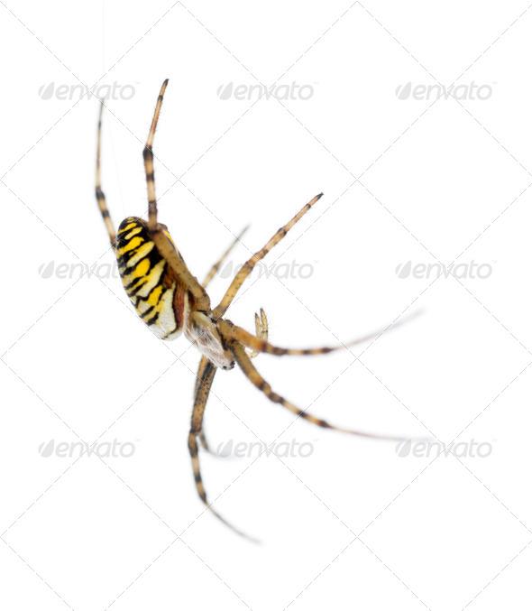 Wasp spider, Argiope bruennichi, hanging on web against white background - Stock Photo - Images