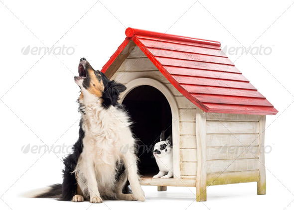 Border Collie sitting and barking next to a kennel with rabbit inside against white background - Stock Photo - Images