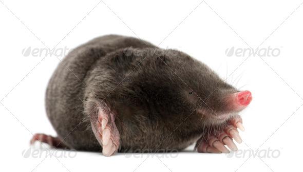 European Mole, Talpa europaea, against white background - Stock Photo - Images
