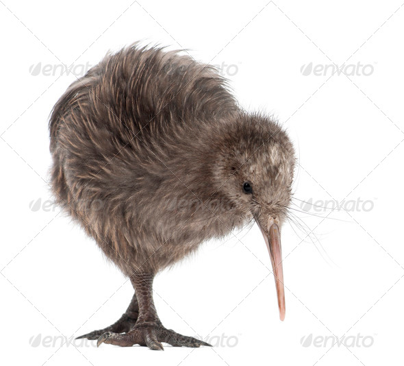 North Island Brown Kiwi, Apteryx mantelli, 5 months old, standing against white background - Stock Photo - Images