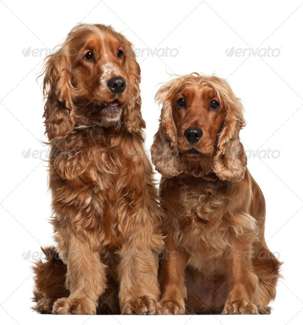 English Cocker Spaniels, 16 months old, sitting against white background - Stock Photo - Images