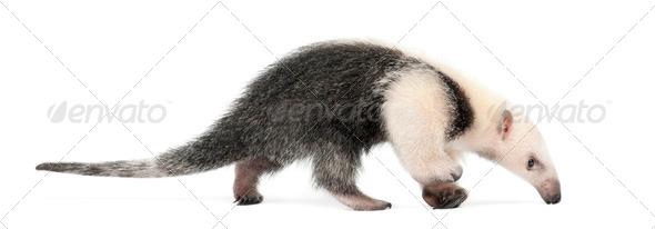Tamandua, Tamandua tetradactyla, 3 months old, walking against white background - Stock Photo - Images