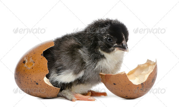 Marans chick, 15 hours old, standing in the egg from which he hatched out against white background - Stock Photo - Images
