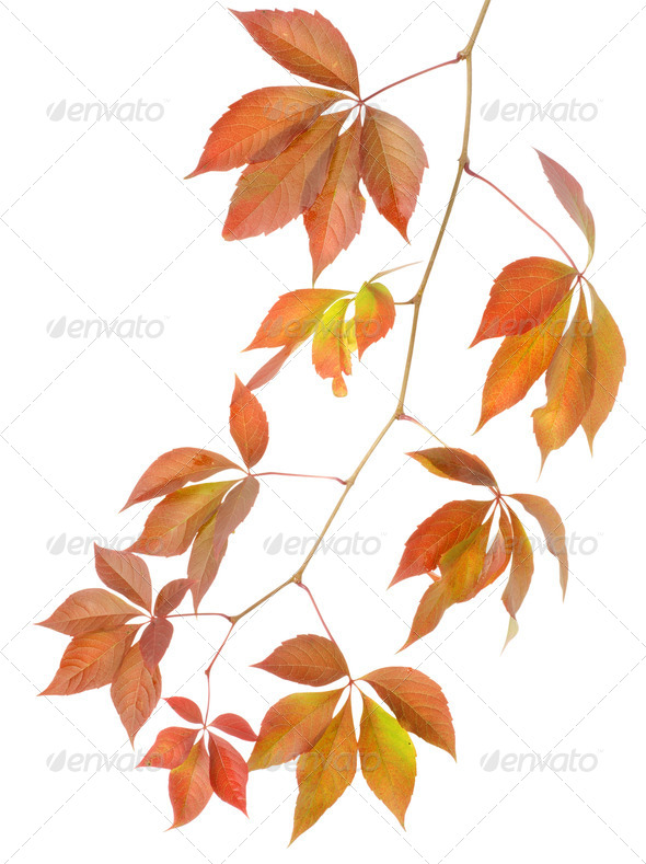 Autumn branch of wild grapes - Stock Photo - Images