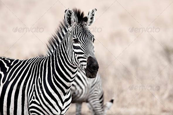 African Zebra - Stock Photo - Images
