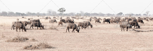 Wild African Buffalo - Stock Photo - Images