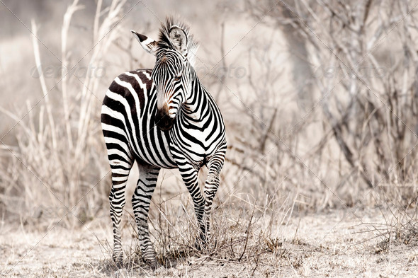 African Zebra - Stock Photo - Images