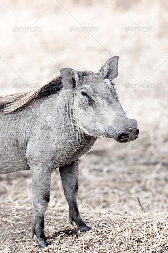 Wild warthog - Stock Photo - Images