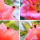 Ladybug In The Rose 2 (4 Videos) - VideoHive Item for Sale