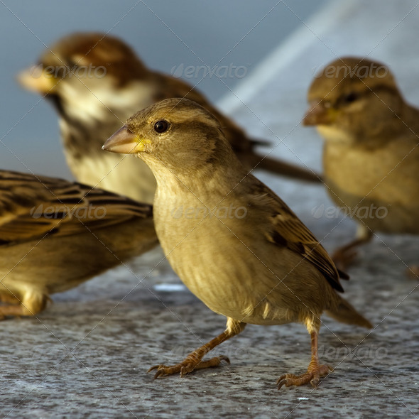 Sparrows - Stock Photo - Images