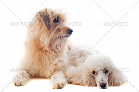 Pyrenean sheepdog and poodle - Stock Photo - Images