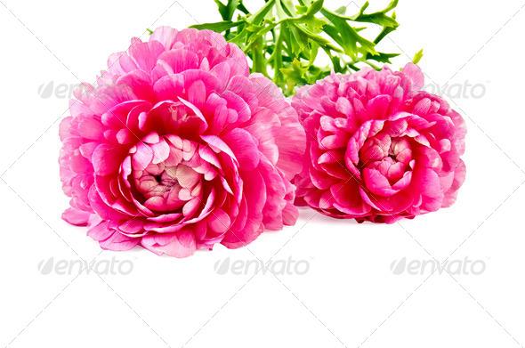 Ranunculus asiaticus pink - Stock Photo - Images