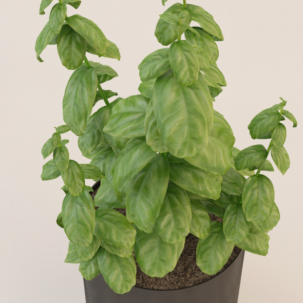 Photorealistic Basil Plant - 3DOcean Item for Sale