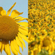 Sunflowers 26 (2-Pack) - VideoHive Item for Sale